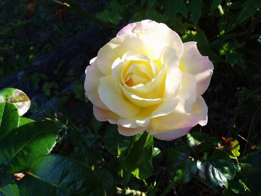 roses still in bloom last