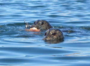 Harbor seals, along for the ride