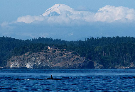 A lone member of K pod, with Mount Baker in the background....