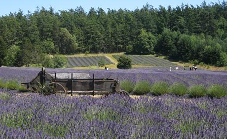 Fields of purple...