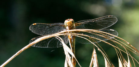 A dragonfly, seen by Cyndi Brast when she was taking a walk out near Roche Harbor...