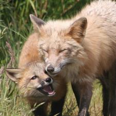 fox-holmes3