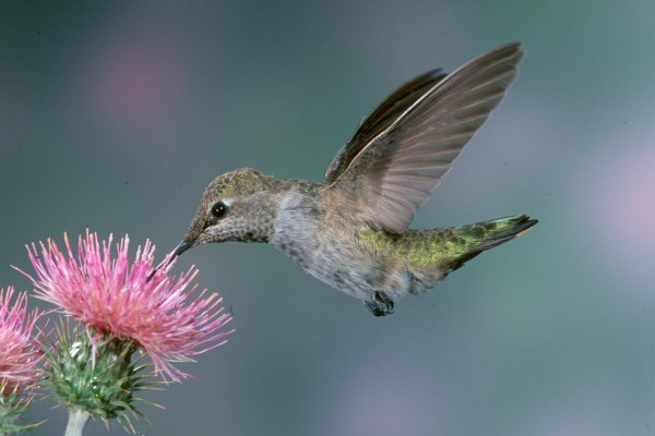 FemaleAnnaHummingbird