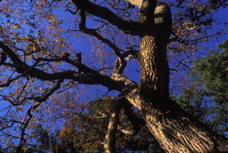 Garry oak 2