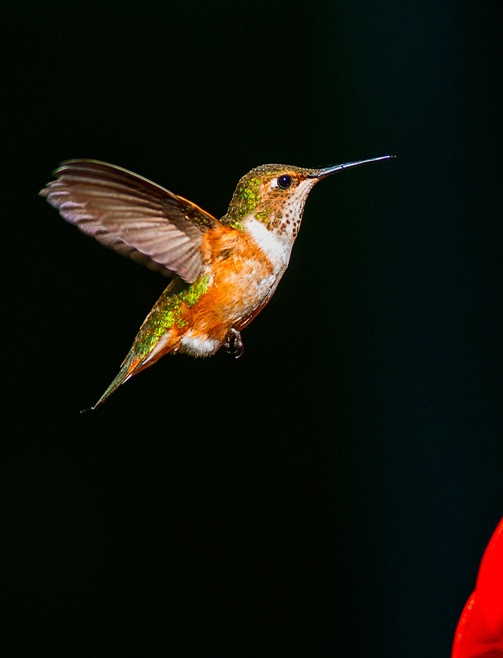 Rufous hummingbird drawing - photo#4