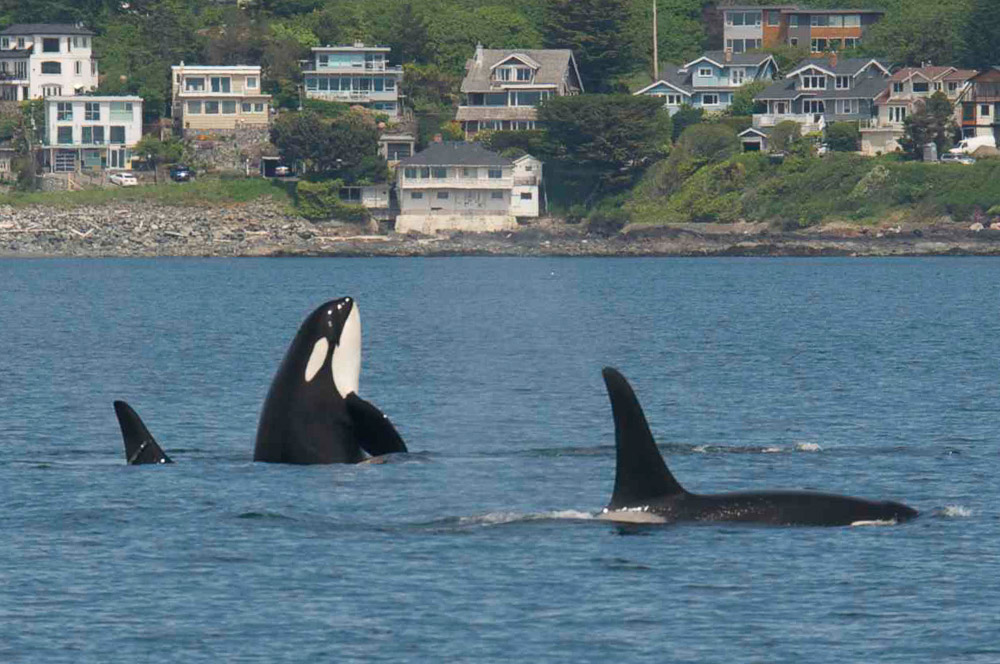 J-Pod is back in Haro Strait - Jim Maya photo