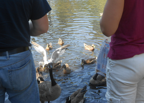 It's a common sight - folks feeding the ducks & geese & occasionally gulls at Beacon Hill Park, in the middle of Victoria.