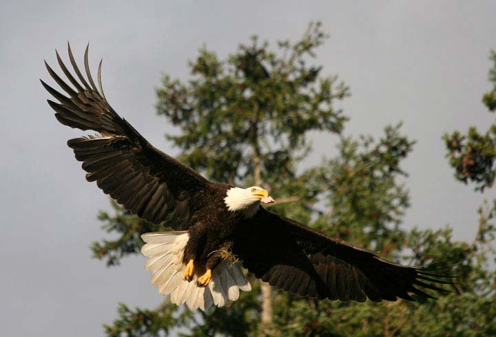 American Camp Eagle - Contributed photo
