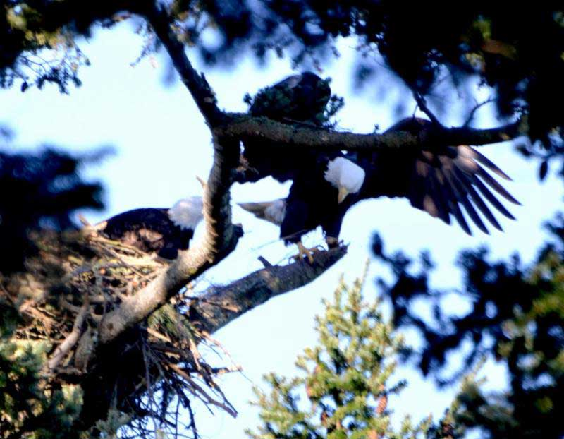 Eagles work on their new nest above the American Camp visitor center - Sue Ryan photo