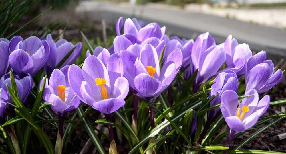 Little Purple Jobs - Click for larger version - Tim Dustrude photo