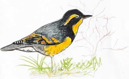 Varied Thrush, just one of the drawings in this wonderful little pocket guide book to birds