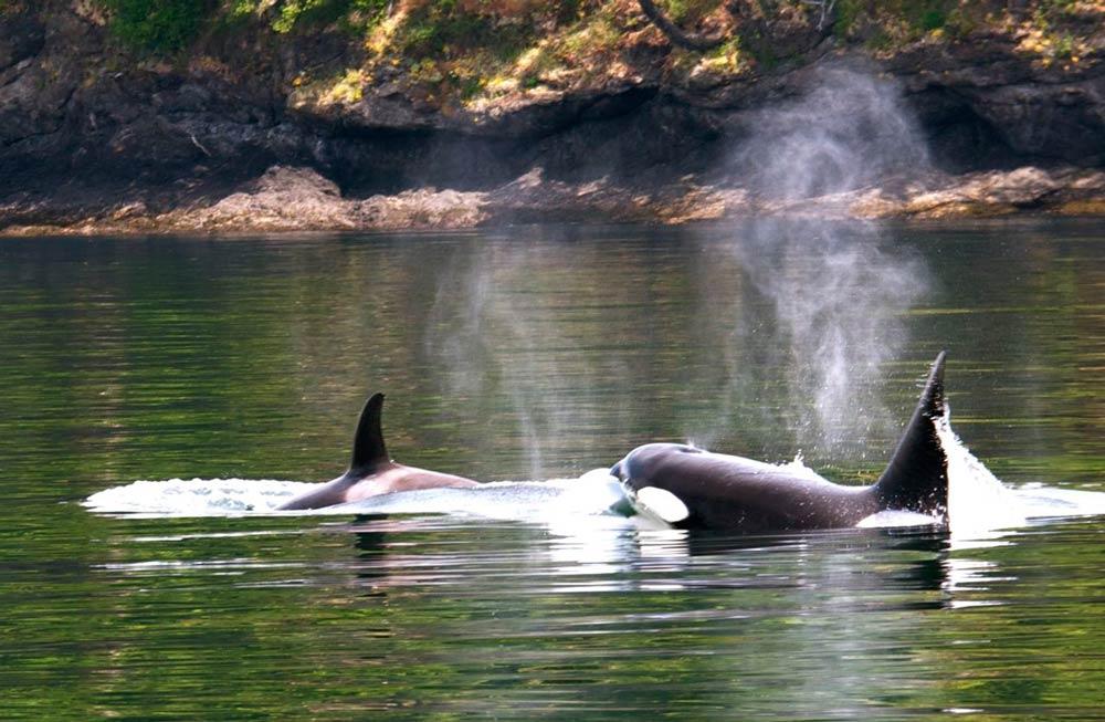 Happy Saturday to you. Transient orcas - Jim Maya photo