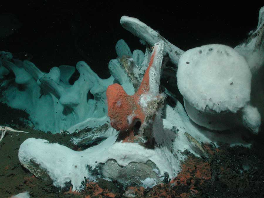 Deep sea Whale fall  4.5 yr with mats of chemosynthetic bacteria - Craig Smith photo