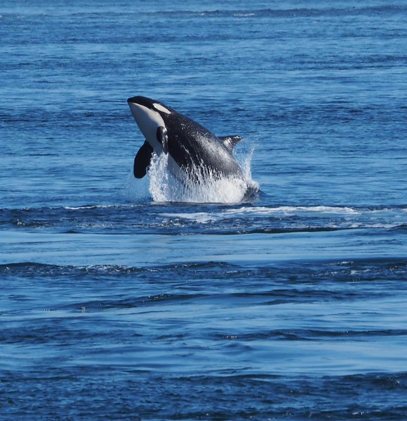 "J-38, ""Alki"" as seen from Whale Watch Park on Monday - Sherrie Stahl photo"