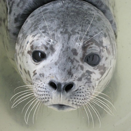 Harbor Seal Alert - Contributed Photo