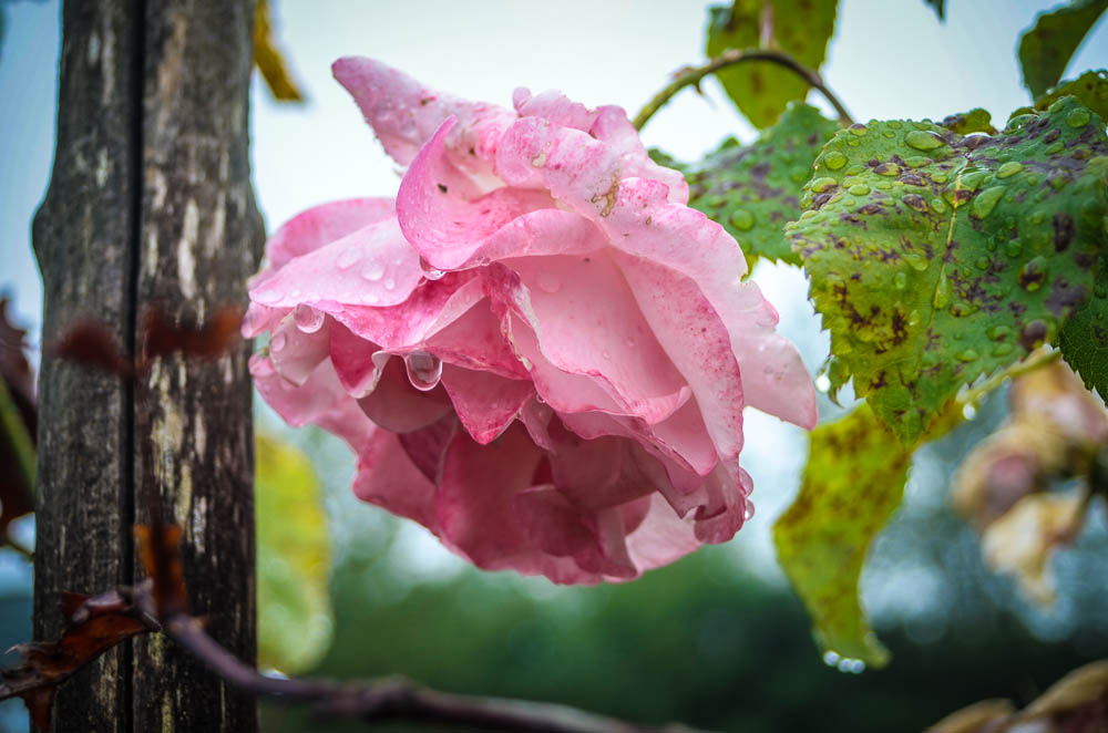 Rose with Raindrops - Tim Dustrude photo