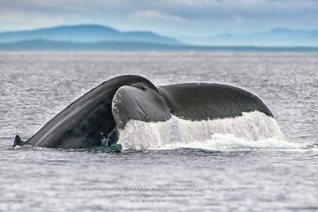 Humpback Off Victoria - Photo by Katie Jones