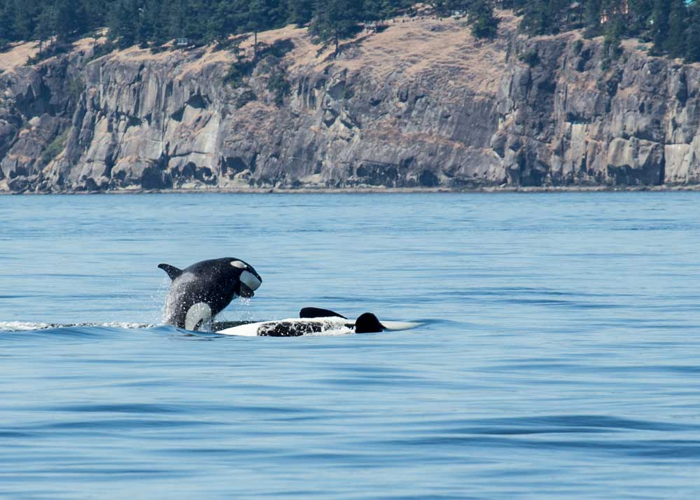 Aaron Plotkin Photography Quot Orca Pup Over Mom Quot a Photo by Aaron Plotkin