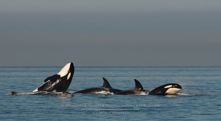 Transient Orca Whales at Play - Photo by Katie Jones