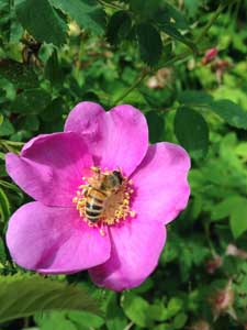 Bee on Nootka Rose - Contributed Photo