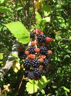 Blackberries - Photo Peggy Sue McRae