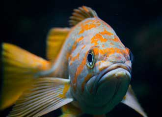 Rockfish - Photo Credit SeaDoc Society