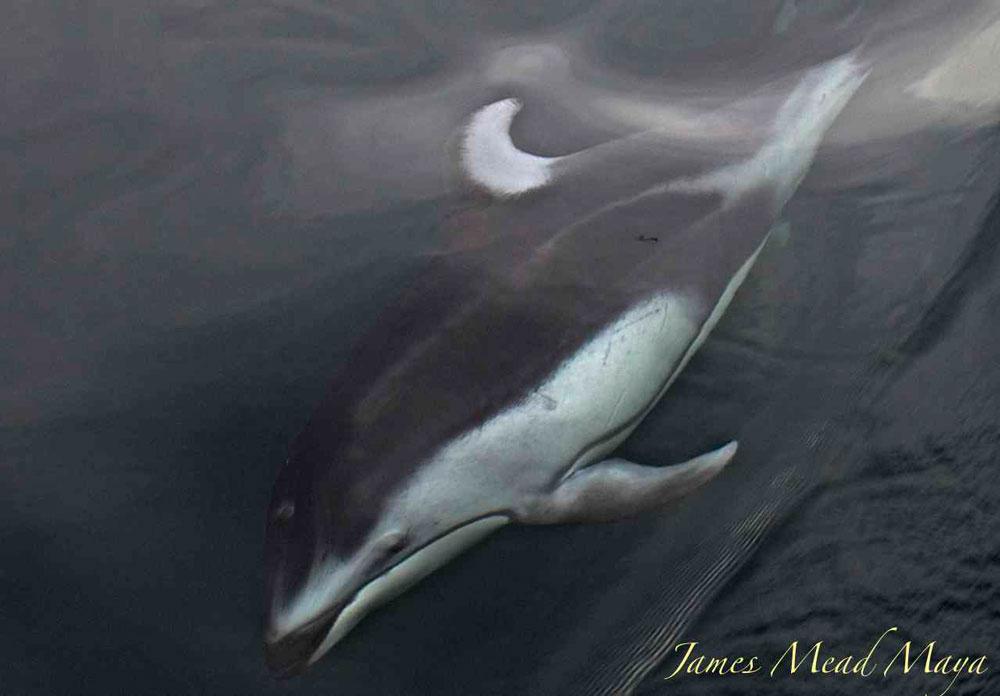 Pacific White Sided Dolphin - Jim Maya photo