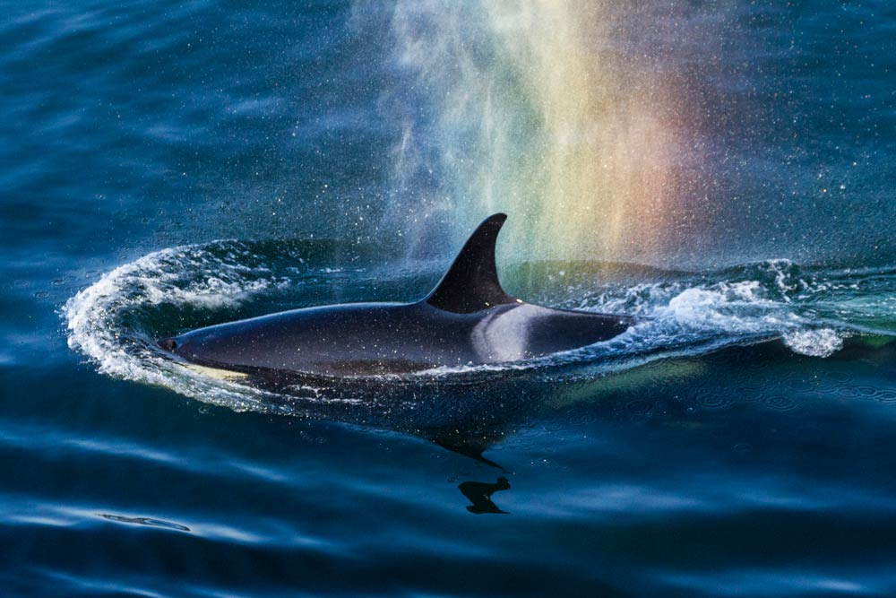 J-16 Slick is likely the mother of the new Orca Calf -