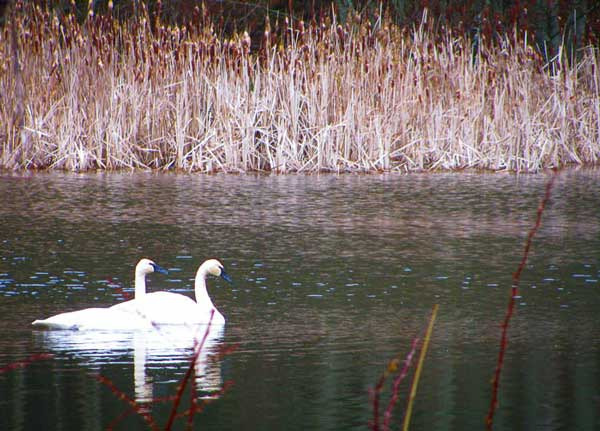 Swans on a Pond - Contributed photo