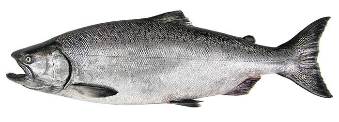 Image courtesy Wa. Dept. of Fish & Wildlife