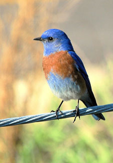 Western Bluebird - Photo used with permission from photographer Dave Johnson