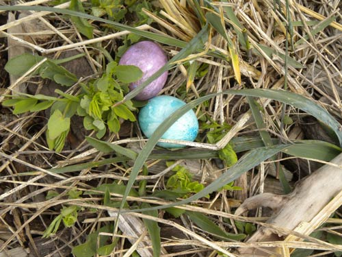 Easter Eggs hide in the grass - Contributed photo