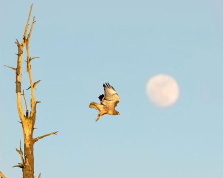 """Sun going down, moon coming up, hawk taking flight"" - John Miller photo"