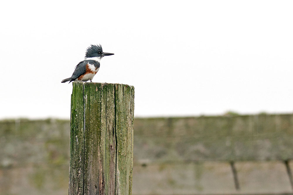 Kingfisher on a Piling - ¸John Miller photo