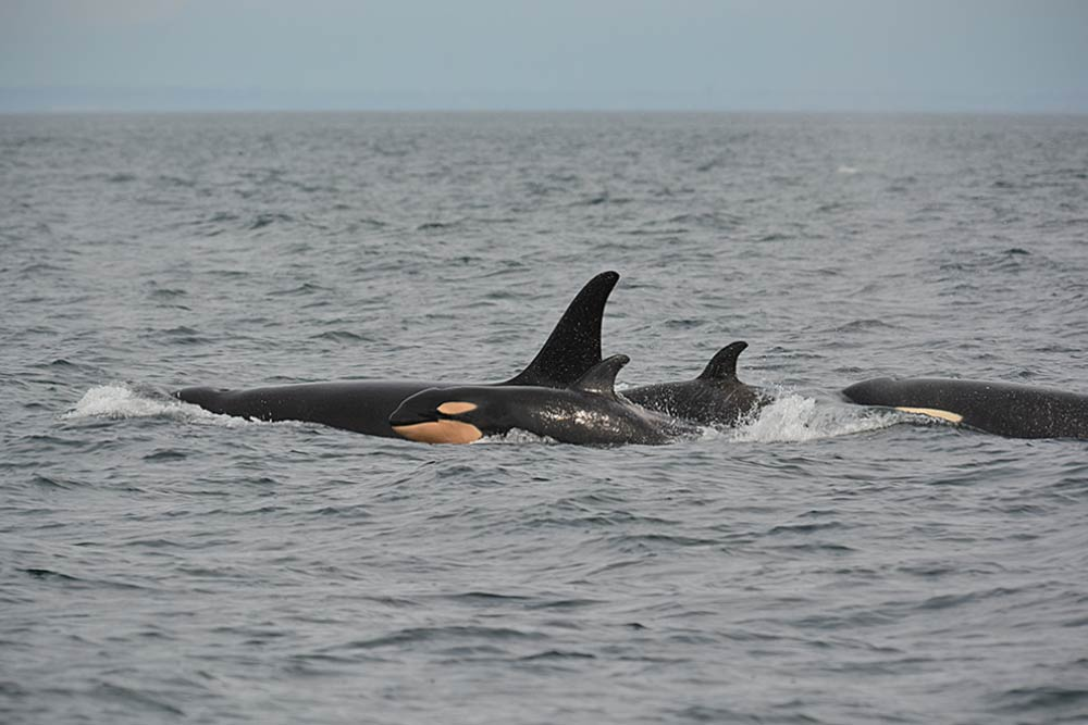 J-52. The Newest addition to the Southern Residents - Photo Credit: Jeanne Hyde courtesy of Center for Whale Reseasrch
