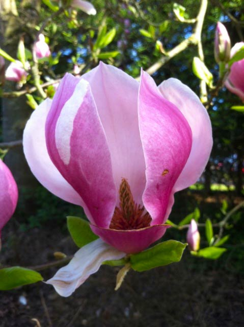 The inside of a Magnolia - SJI Garden Club photo