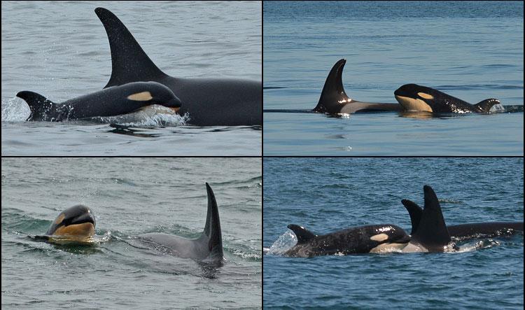 baby-orcas
