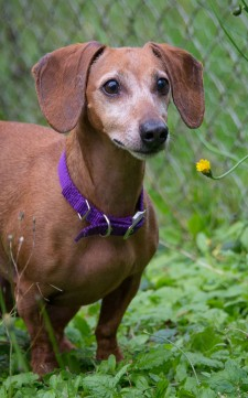 Daisy is this week's Pet of the Week - Traci Walter photo