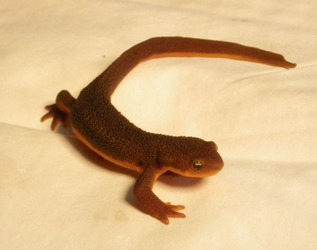 Rough Skinned Newt - Contributed photo
