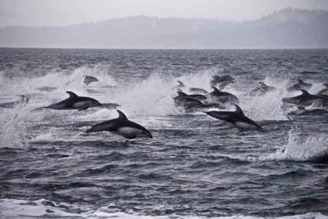 Pacific White Sided Dolphins - Jim Maya photo