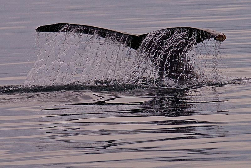 Humpback Flukes - Jim Maya photo
