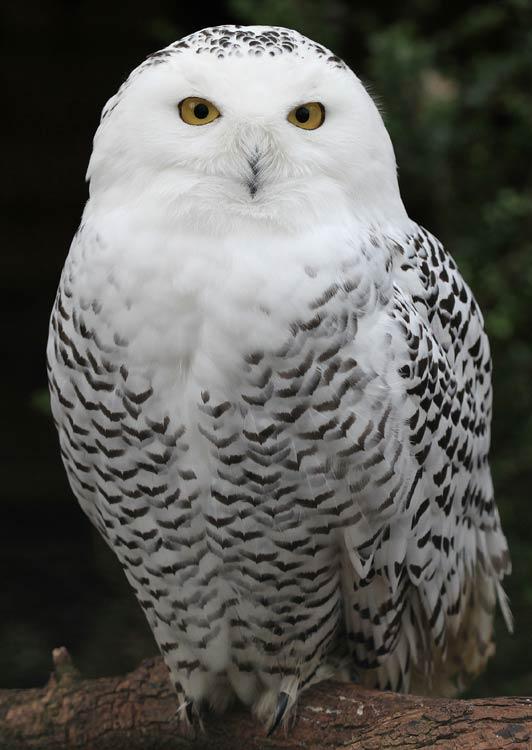 Snowy Owl - photo courtesy of pe-ha45 at Flickr.com