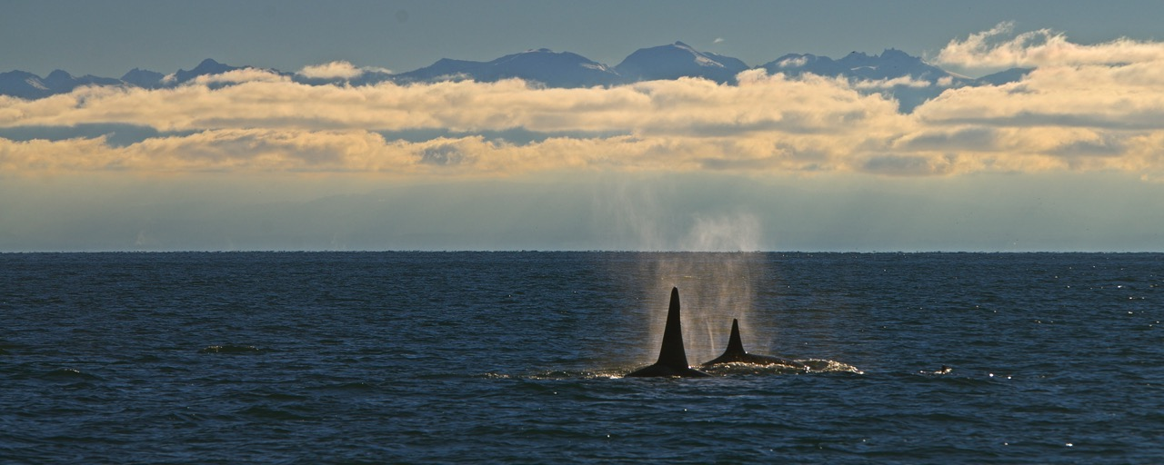 Orca Whales in South Haro Strait - James Maya photo