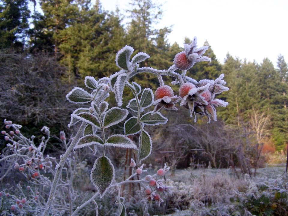 Frost on Rose Hips - Margaret Thorson photo