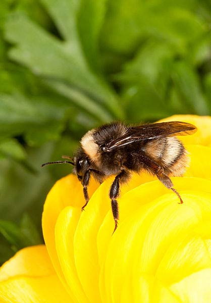 Bombus occidentalis or more commonly: Bumble Bee - Contributed photo