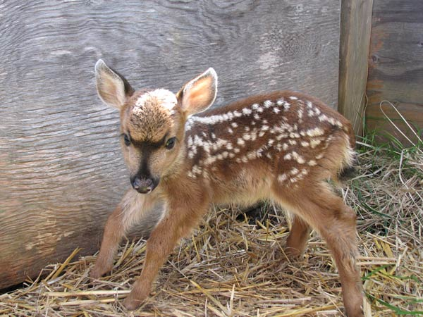 Fawn season is here - Contributed photo