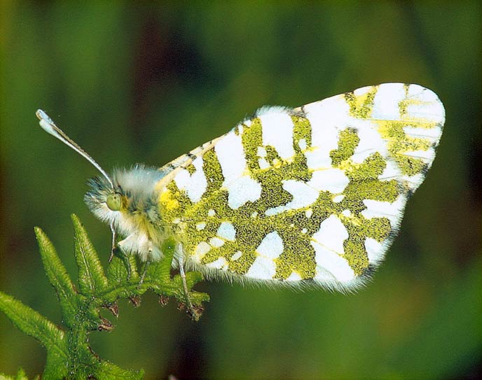 Island Marble Butterfly - Photo Courtesy of Keith Van Cleve
