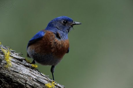 Male Western Bluebird (Sialia mexicana) - Contributed Photo