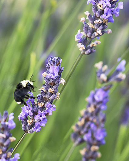Bee with Lavender - John Miller Photo