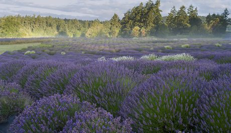 Sunrise at the Lavender Farm - John Miller Photo